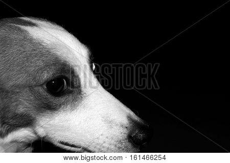 sad jack rassel dog look around black backround