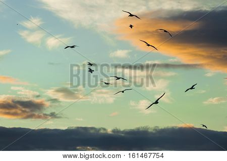 Tranquil scene with seagull flying at sunset spectacular sunset over the sea and silhouettes of flying seagulls Sunset over Scottish sea with stones UK