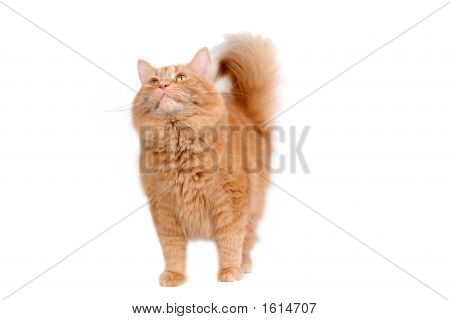 Intrigued Red Cat