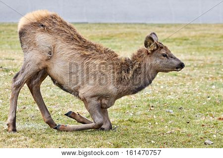 Young Elk In The Yellowstone National Park, Usa