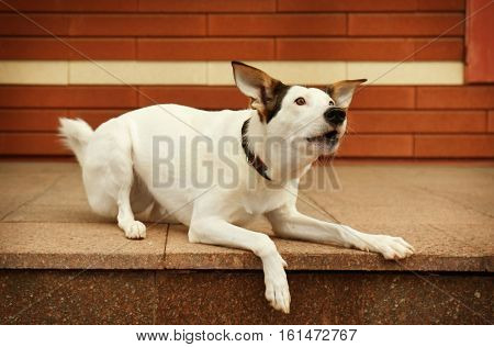 Andalusian ratonero dog outdoors near brick building