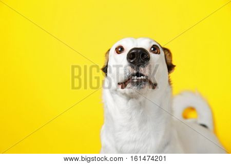 Funny Andalusian ratonero dog on yellow background, close up