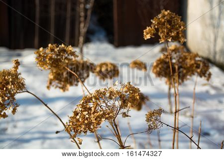 Dry grass in the winter. Dried inflorescence of flowers.