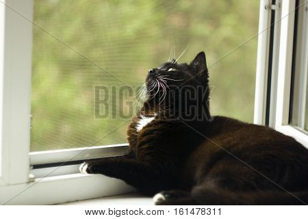 Black cat with white whiskers and eyebrows looking with interest in window