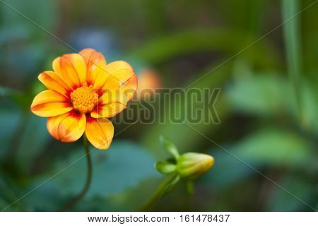 Flower Dahlia. Beautiful Yellow Flower Dahlia Grow In Flower Garden Summer. Copyspace.