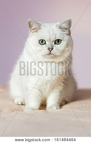 British silver colored cat sitting on a bed in bright room, closely and inseparably looking at the camera