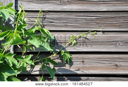 The wall of the old boards with climbing plants.