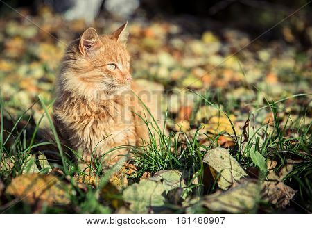 Red domestic tomcat among the grass and leaves at fall