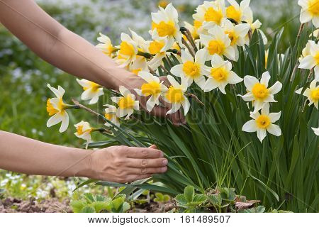 hands picking narcissus flowers in the garden