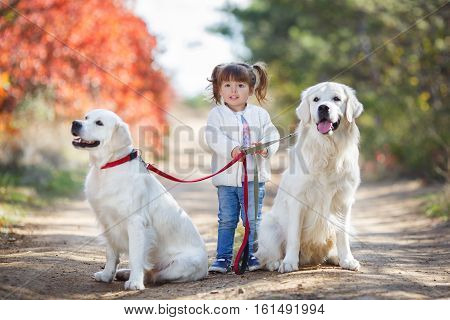 Little cute girl,brunette,hairstyle with two ponytails,wearing a light blue jeans and a white jacket,walks on the leashes of two big,beautiful dogs of the breed Golden Retriever in autumn Park with red-yellow-green trees and shrubs