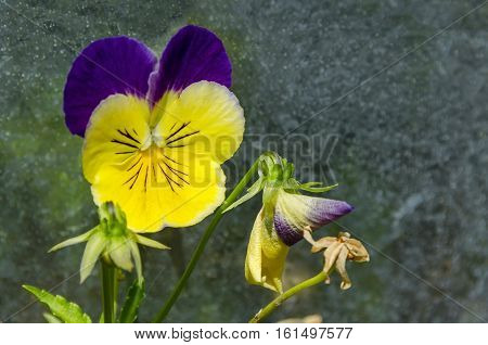 Mixed of purple and yellow color pansy, Viola altaica or dog-violet flower in glade with yellow pollen,  Vitosha mountain, Bulgaria