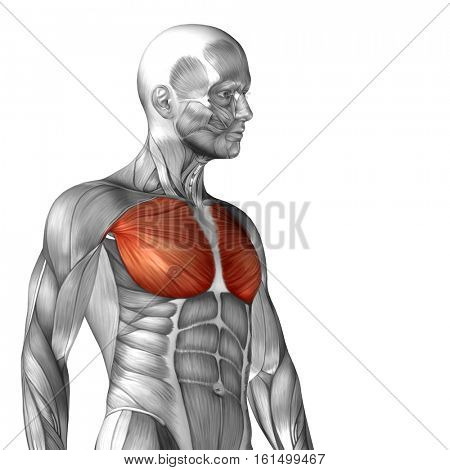 Concept or conceptual 3D illustration chest human anatomy or anatomical and muscle isolated on white background