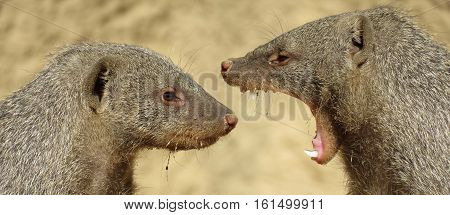 mongoose image of two in an argument