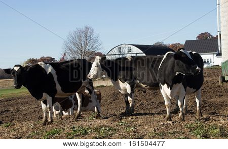 Four Holstein cows on a small dairy farm in Wisconsin.