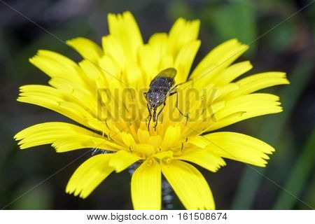 Small country fly in the spring on the bright yellow flower.