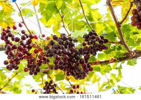 Branches Of Red Wine Grapes Growing In Organic Farm