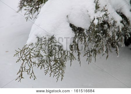 Thuja branches covered with a white snow