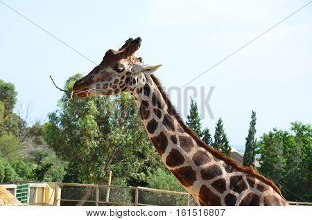 Tunisia; the Zoo; Phrygia; giraffe; animals; wild; nature; enclosure; fauna.private; corral; eucalyptus; sand; mammal; Africa