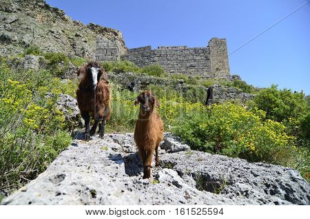 Goats found on the mountain with ruins background.