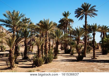 Beautiful Moroccan Palm Grove Landscape In Desert