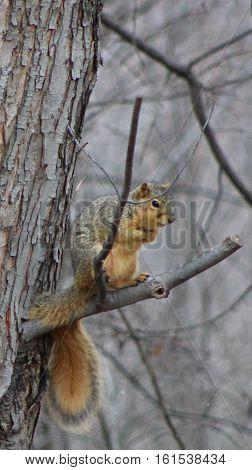 Squirrel sitting in a barren winter tree