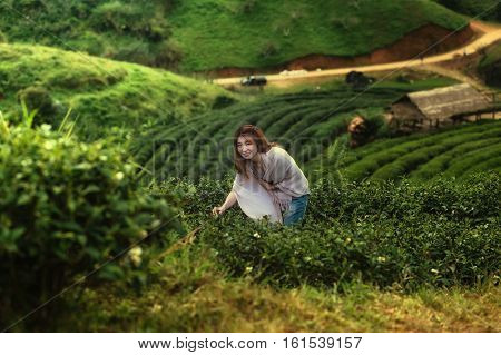 Asia Happy Woman Harvesting Tea Leaves On Doi Angkhang Mountain Thailand