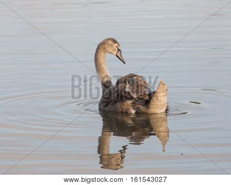 Cygnet, Young, Swan, Swimming, reflection ugly duckling