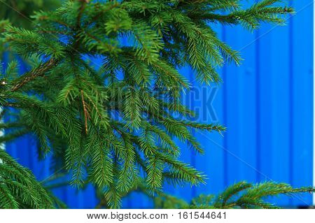 spruce branch on a blue background tree blue color