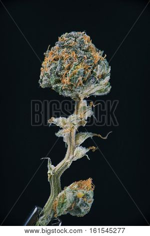 Detail of dried cannabis flower (ambrosia strain) isolated over black background