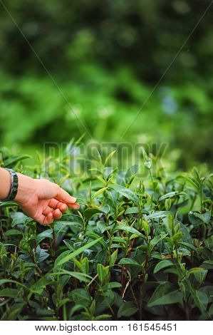 Hand Plucking Tea Leaf On Doi Angkhang Mountain In Thailand