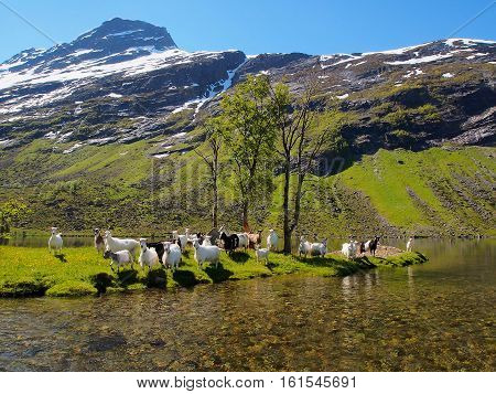 View on the lake snowy mountains goats graze in the meadow on the shore of lake sunny day