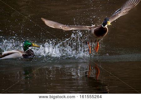 courtship duck in water, flying up duck