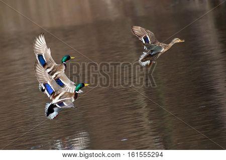Flying Drake Mallards in Courtship Flight. Ducks fly over water