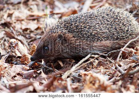 A hedgehog in natural spring background, hedgehog in the forest