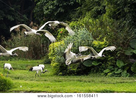 Red-Crowned crane flying in zoo