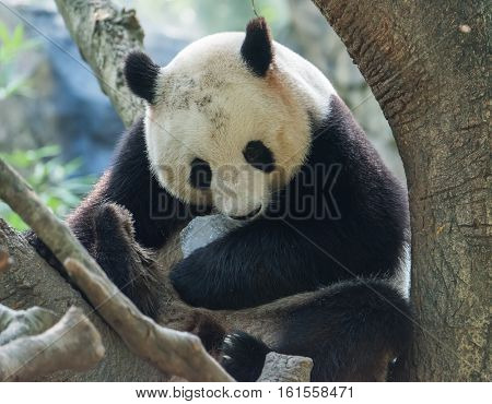 Panda bear sitting in tree