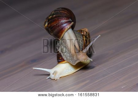 A Pair Of Large Snails
