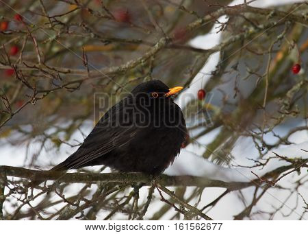 Blackbird sitting on a branch. Grey-winged blackbird