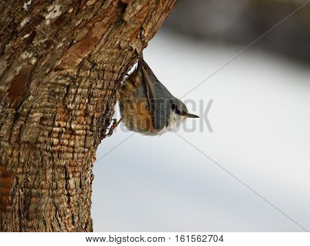 Red-breasted Nuthatch perched on a branch. birds sparrows on a branch in spring
