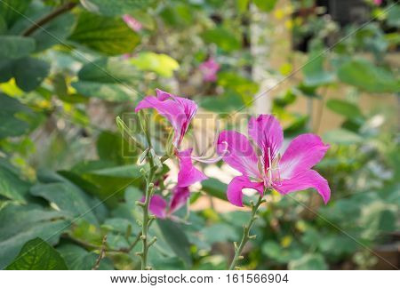 Bauhinia purpurea Lin Purple Orchid Tree Hong Kong Orchid Tree Purple Bauhinia