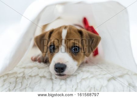jack russel puppy on white carpet