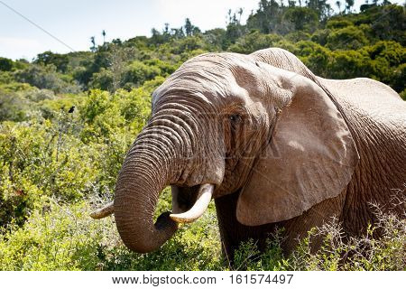 African Bush Elephant's Mouth Wide Open