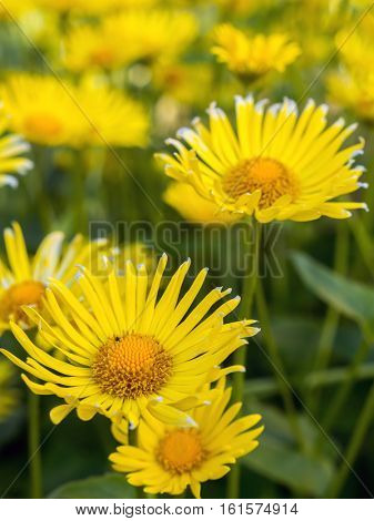 Bunch of yellow Doronicum grandiflorum flowers growing in the garden