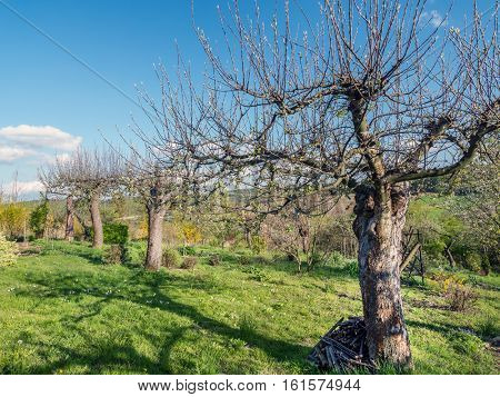Old apple tree orchard in springtime