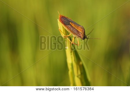 Coreid Bug Caught The Ears Of Rice