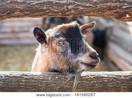 Young small goatling peeping from behind a wooden fence in the aviary