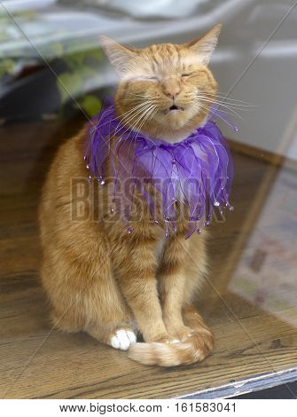 An orange tabby cat sits in a window wearing a beautiful purple jester collar l