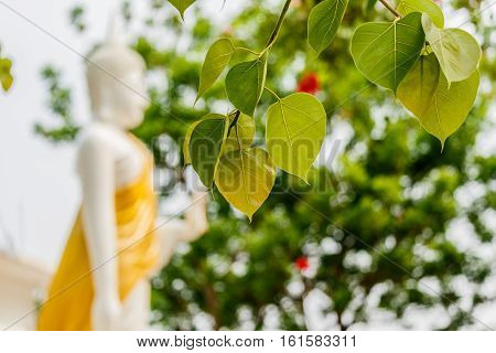 Green Bo leafs White Buddha statue background