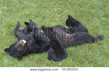 A mama black bear nurses her three cubs on a neighborhood lawn in summertime