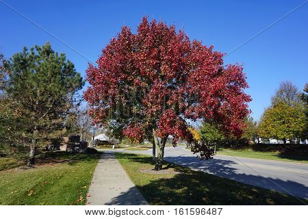 A Callery pear tree (Pyrus calleryana), also called the Bradford flowering pear, displays brilliant autumn foliage in the Wesmere Country Club subdivision of Joliet, Illinois during November.